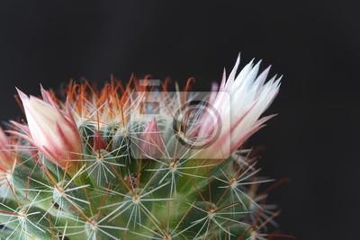 Постер Кактусы Цветущий кактус (Mammillaria)Кактусы<br>Постер на холсте или бумаге. Любого нужного вам размера. В раме или без. Подвес в комплекте. Трехслойная надежная упаковка. Доставим в любую точку России. Вам осталось только повесить картину на стену!<br>