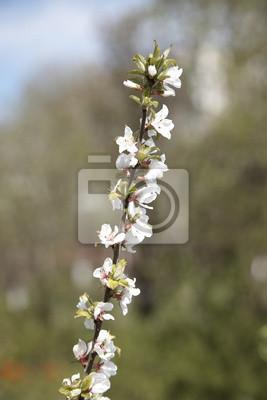 Постер Сакура Весной цветут: японская Сакура, филиал в сад backgroСакура<br>Постер на холсте или бумаге. Любого нужного вам размера. В раме или без. Подвес в комплекте. Трехслойная надежная упаковка. Доставим в любую точку России. Вам осталось только повесить картину на стену!<br>
