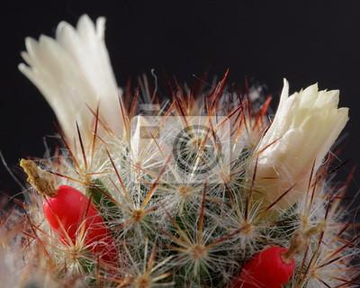 Постер Кактусы Цветущий кактус с красными фруктамиКактусы<br>Постер на холсте или бумаге. Любого нужного вам размера. В раме или без. Подвес в комплекте. Трехслойная надежная упаковка. Доставим в любую точку России. Вам осталось только повесить картину на стену!<br>