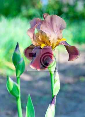 Постер Ирисы Ветка цветущего iris close upИрисы<br>Постер на холсте или бумаге. Любого нужного вам размера. В раме или без. Подвес в комплекте. Трехслойная надежная упаковка. Доставим в любую точку России. Вам осталось только повесить картину на стену!<br>