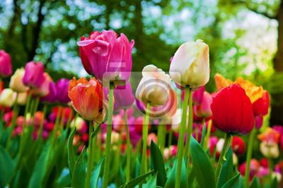 Постер Голландия Красочные тюльпан цветы весной парк, садГолландия<br>Постер на холсте или бумаге. Любого нужного вам размера. В раме или без. Подвес в комплекте. Трехслойная надежная упаковка. Доставим в любую точку России. Вам осталось только повесить картину на стену!<br>
