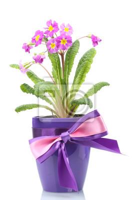 Постер Примула Красивый фиолетовый примулы в горшок с цветком, изолированных на беломПримула<br>Постер на холсте или бумаге. Любого нужного вам размера. В раме или без. Подвес в комплекте. Трехслойная надежная упаковка. Доставим в любую точку России. Вам осталось только повесить картину на стену!<br>