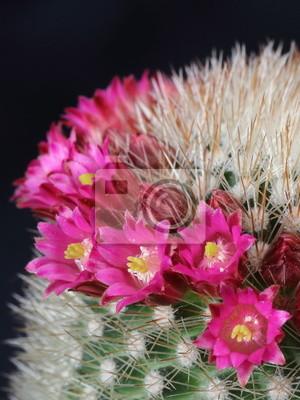 Цветущий кактус (Mammillaria) на черном, 20x27 см, на бумагеКактусы<br>Постер на холсте или бумаге. Любого нужного вам размера. В раме или без. Подвес в комплекте. Трехслойная надежная упаковка. Доставим в любую точку России. Вам осталось только повесить картину на стену!<br>