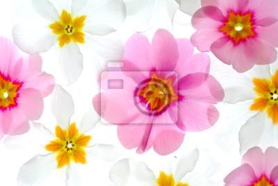 Постер Примула Primula цветыПримула<br>Постер на холсте или бумаге. Любого нужного вам размера. В раме или без. Подвес в комплекте. Трехслойная надежная упаковка. Доставим в любую точку России. Вам осталось только повесить картину на стену!<br>