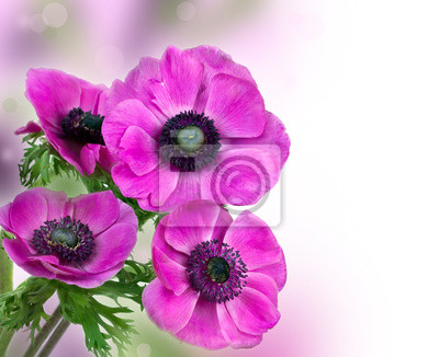 Постер Анемона Красивый фиолетовый цветок анемонаАнемона<br>Постер на холсте или бумаге. Любого нужного вам размера. В раме или без. Подвес в комплекте. Трехслойная надежная упаковка. Доставим в любую точку России. Вам осталось только повесить картину на стену!<br>