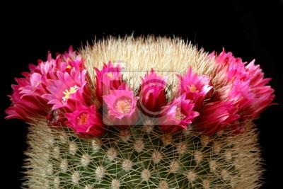 Постер Кактусы Цветы кактуса (Mammillaria)Кактусы<br>Постер на холсте или бумаге. Любого нужного вам размера. В раме или без. Подвес в комплекте. Трехслойная надежная упаковка. Доставим в любую точку России. Вам осталось только повесить картину на стену!<br>