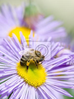 Постер Хризантемы Пчела на голубой цветокХризантемы<br>Постер на холсте или бумаге. Любого нужного вам размера. В раме или без. Подвес в комплекте. Трехслойная надежная упаковка. Доставим в любую точку России. Вам осталось только повесить картину на стену!<br>