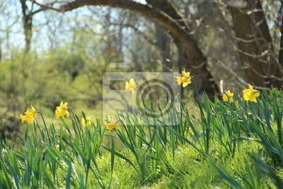 Постер Нарциссы Spring hill с желтые нарциссыНарциссы<br>Постер на холсте или бумаге. Любого нужного вам размера. В раме или без. Подвес в комплекте. Трехслойная надежная упаковка. Доставим в любую точку России. Вам осталось только повесить картину на стену!<br>