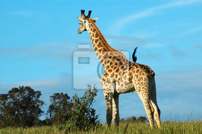 Постер Жирафы