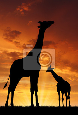 Постер Африканский пейзаж Два жирафа на закатеАфриканский пейзаж<br>Постер на холсте или бумаге. Любого нужного вам размера. В раме или без. Подвес в комплекте. Трехслойная надежная упаковка. Доставим в любую точку России. Вам осталось только повесить картину на стену!<br>
