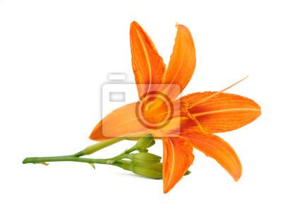 Постер Лилии Лилия-цветок, изолированных на белом фонеЛилии<br>Постер на холсте или бумаге. Любого нужного вам размера. В раме или без. Подвес в комплекте. Трехслойная надежная упаковка. Доставим в любую точку России. Вам осталось только повесить картину на стену!<br>