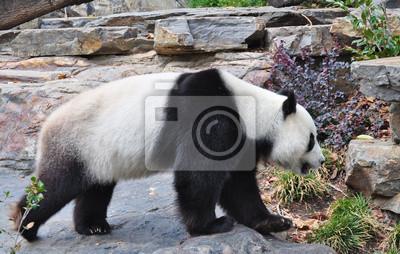 Гигантская панда медведя ходить. Недалеко до. Австралия, Adelaide zoo, 31x20 см, на бумагеПанда<br>Постер на холсте или бумаге. Любого нужного вам размера. В раме или без. Подвес в комплекте. Трехслойная надежная упаковка. Доставим в любую точку России. Вам осталось только повесить картину на стену!<br>