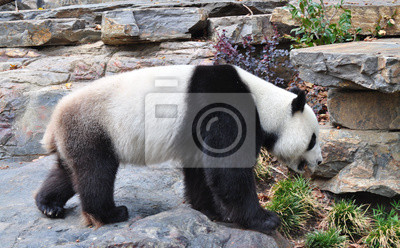 Гигантский медведь панда ходьба, 32x20 см, на бумагеПанда<br>Постер на холсте или бумаге. Любого нужного вам размера. В раме или без. Подвес в комплекте. Трехслойная надежная упаковка. Доставим в любую точку России. Вам осталось только повесить картину на стену!<br>