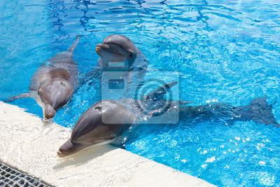 Дельфины в бассейн, 30x20 см, на бумагеДельфины<br>Постер на холсте или бумаге. Любого нужного вам размера. В раме или без. Подвес в комплекте. Трехслойная надежная упаковка. Доставим в любую точку России. Вам осталось только повесить картину на стену!<br>