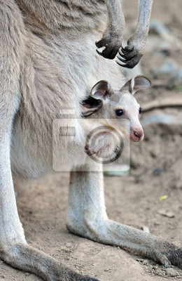 Постер Кенгуру Австралийский серых кенгуру с ребенком Джо в сумкеКенгуру<br>Постер на холсте или бумаге. Любого нужного вам размера. В раме или без. Подвес в комплекте. Трехслойная надежная упаковка. Доставим в любую точку России. Вам осталось только повесить картину на стену!<br>