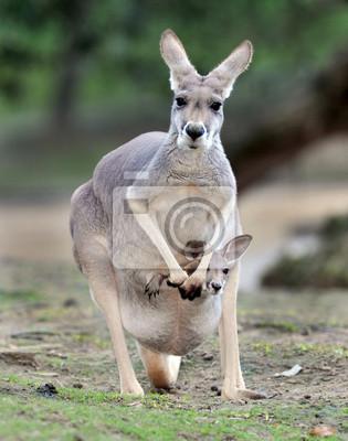 Постер Австралия Австралийский серых кенгуру с ребенком Джо в сумкеАвстралия<br>Постер на холсте или бумаге. Любого нужного вам размера. В раме или без. Подвес в комплекте. Трехслойная надежная упаковка. Доставим в любую точку России. Вам осталось только повесить картину на стену!<br>
