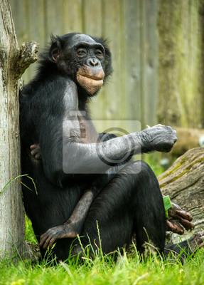 Постер Животные Шимпанзе Бонобо, 20x28 см, на бумагеОбезьяны<br>Постер на холсте или бумаге. Любого нужного вам размера. В раме или без. Подвес в комплекте. Трехслойная надежная упаковка. Доставим в любую точку России. Вам осталось только повесить картину на стену!<br>