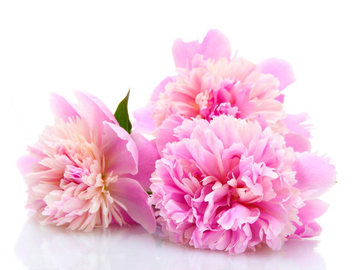 Постер Пионы Розовые пионы цветы, изолированных на беломПионы<br>Постер на холсте или бумаге. Любого нужного вам размера. В раме или без. Подвес в комплекте. Трехслойная надежная упаковка. Доставим в любую точку России. Вам осталось только повесить картину на стену!<br>