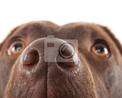 Постер Собаки Браун Лабрадор нос крупным планомСобаки<br>Постер на холсте или бумаге. Любого нужного вам размера. В раме или без. Подвес в комплекте. Трехслойная надежная упаковка. Доставим в любую точку России. Вам осталось только повесить картину на стену!<br>