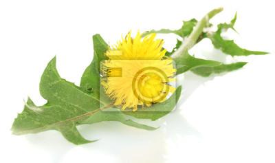 Постер Цветы Одуванчик, цветок и листья, изолированных на белом, 34x20 см, на бумагеОдуванчики<br>Постер на холсте или бумаге. Любого нужного вам размера. В раме или без. Подвес в комплекте. Трехслойная надежная упаковка. Доставим в любую точку России. Вам осталось только повесить картину на стену!<br>