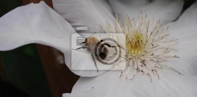 Постер Клематисы Ребенок Мед, Пчелиная Изучения Белый ЦветокКлематисы<br>Постер на холсте или бумаге. Любого нужного вам размера. В раме или без. Подвес в комплекте. Трехслойная надежная упаковка. Доставим в любую точку России. Вам осталось только повесить картину на стену!<br>
