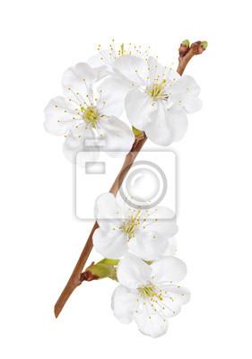 Постер Цветы Цветы вишни или яблоневым цветом на белом фоне, 20x28 см, на бумагеСакура<br>Постер на холсте или бумаге. Любого нужного вам размера. В раме или без. Подвес в комплекте. Трехслойная надежная упаковка. Доставим в любую точку России. Вам осталось только повесить картину на стену!<br>