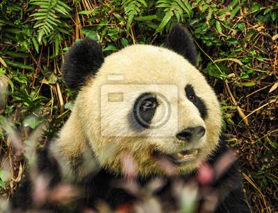 Постер Панда Panda, провинции Сычуань, Китай.Панда<br>Постер на холсте или бумаге. Любого нужного вам размера. В раме или без. Подвес в комплекте. Трехслойная надежная упаковка. Доставим в любую точку России. Вам осталось только повесить картину на стену!<br>