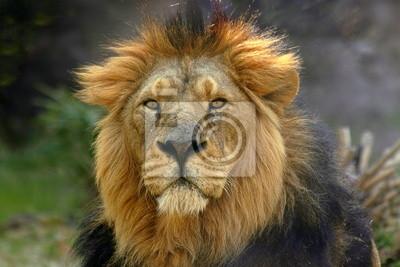 Постер Кения Портрет мужчины Лев (Panthera Leo)Кения<br>Постер на холсте или бумаге. Любого нужного вам размера. В раме или без. Подвес в комплекте. Трехслойная надежная упаковка. Доставим в любую точку России. Вам осталось только повесить картину на стену!<br>