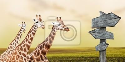 Постер Животные Группа жирафов потерял в прериях, концепция путешествия, 40x20 см, на бумагеЖирафы<br>Постер на холсте или бумаге. Любого нужного вам размера. В раме или без. Подвес в комплекте. Трехслойная надежная упаковка. Доставим в любую точку России. Вам осталось только повесить картину на стену!<br>