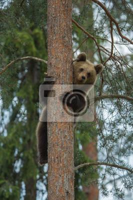 Постер Словакия Бурый медведь альпинизм дерево в Tiaga лесаСловакия<br>Постер на холсте или бумаге. Любого нужного вам размера. В раме или без. Подвес в комплекте. Трехслойная надежная упаковка. Доставим в любую точку России. Вам осталось только повесить картину на стену!<br>