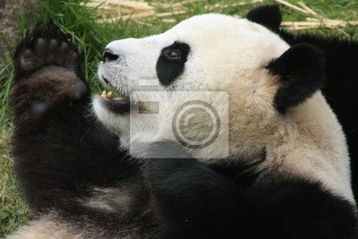 Постер Панда Гигантский медведь панда (Ailuropoda Melanoleuca), КитайПанда<br>Постер на холсте или бумаге. Любого нужного вам размера. В раме или без. Подвес в комплекте. Трехслойная надежная упаковка. Доставим в любую точку России. Вам осталось только повесить картину на стену!<br>