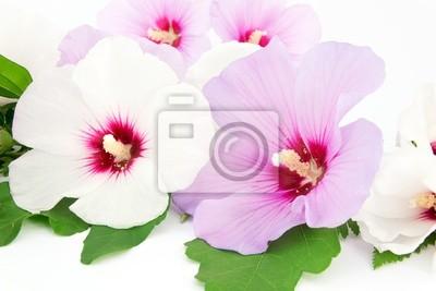 Постер Гибискус Гибискус белый и фиолетовый цветок, Гибискус<br>Постер на холсте или бумаге. Любого нужного вам размера. В раме или без. Подвес в комплекте. Трехслойная надежная упаковка. Доставим в любую точку России. Вам осталось только повесить картину на стену!<br>