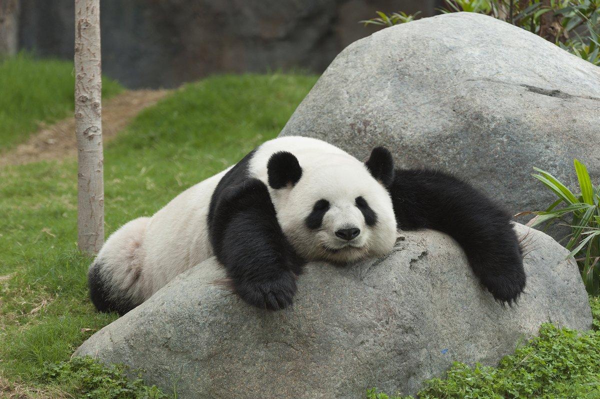 Постер Китай Гигантская панда медведь спитКитай<br>Постер на холсте или бумаге. Любого нужного вам размера. В раме или без. Подвес в комплекте. Трехслойная надежная упаковка. Доставим в любую точку России. Вам осталось только повесить картину на стену!<br>