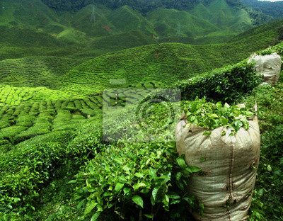 Постер Малайзия Зеленый чай плантации пейзажМалайзия<br>Постер на холсте или бумаге. Любого нужного вам размера. В раме или без. Подвес в комплекте. Трехслойная надежная упаковка. Доставим в любую точку России. Вам осталось только повесить картину на стену!<br>