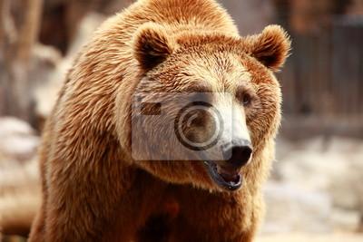 Бурый медведь искать еду в Мадрид Зоопарк, 30x20 см, на бумагеМедведи<br>Постер на холсте или бумаге. Любого нужного вам размера. В раме или без. Подвес в комплекте. Трехслойная надежная упаковка. Доставим в любую точку России. Вам осталось только повесить картину на стену!<br>