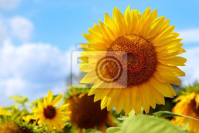 Постер Подсолнухи Close-up солнца цветок на фоне синего небаПодсолнухи<br>Постер на холсте или бумаге. Любого нужного вам размера. В раме или без. Подвес в комплекте. Трехслойная надежная упаковка. Доставим в любую точку России. Вам осталось только повесить картину на стену!<br>