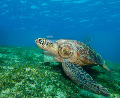 Постер Черепахи Огромные морские черепахи в заливеЧерепахи<br>Постер на холсте или бумаге. Любого нужного вам размера. В раме или без. Подвес в комплекте. Трехслойная надежная упаковка. Доставим в любую точку России. Вам осталось только повесить картину на стену!<br>