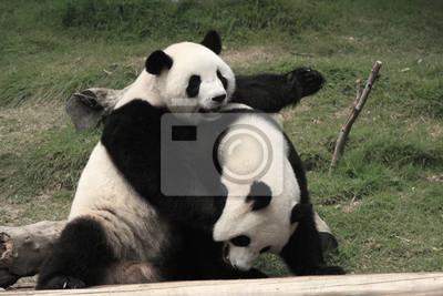 Постер Панда Гигантская панда медведи играли вместе , КитайПанда<br>Постер на холсте или бумаге. Любого нужного вам размера. В раме или без. Подвес в комплекте. Трехслойная надежная упаковка. Доставим в любую точку России. Вам осталось только повесить картину на стену!<br>