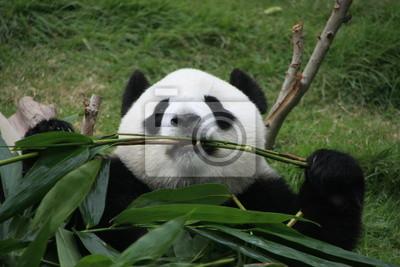 Постер Животные Портрет гигантская панда медведь ест бамбука, Китай, 30x20 см, на бумагеПанда<br>Постер на холсте или бумаге. Любого нужного вам размера. В раме или без. Подвес в комплекте. Трехслойная надежная упаковка. Доставим в любую точку России. Вам осталось только повесить картину на стену!<br>