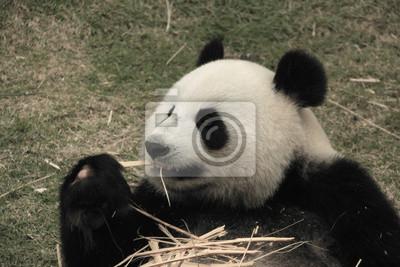 Портрет гигантская панда медведь ест бамбука, Китай, 30x20 см, на бумагеПанда<br>Постер на холсте или бумаге. Любого нужного вам размера. В раме или без. Подвес в комплекте. Трехслойная надежная упаковка. Доставим в любую точку России. Вам осталось только повесить картину на стену!<br>