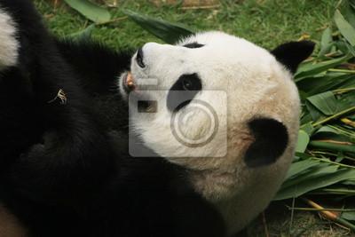 Постер Животные Портрет гигантский медведь панда, Китай, 30x20 см, на бумагеПанда<br>Постер на холсте или бумаге. Любого нужного вам размера. В раме или без. Подвес в комплекте. Трехслойная надежная упаковка. Доставим в любую точку России. Вам осталось только повесить картину на стену!<br>