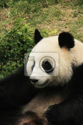 Портрет гигантский медведь панда, Китай, 20x30 см, на бумагеПанда<br>Постер на холсте или бумаге. Любого нужного вам размера. В раме или без. Подвес в комплекте. Трехслойная надежная упаковка. Доставим в любую точку России. Вам осталось только повесить картину на стену!<br>