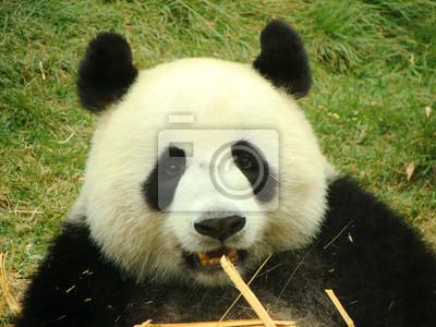Постер Панда Портрет гигантская панда медведь ест бамбука, КитайПанда<br>Постер на холсте или бумаге. Любого нужного вам размера. В раме или без. Подвес в комплекте. Трехслойная надежная упаковка. Доставим в любую точку России. Вам осталось только повесить картину на стену!<br>