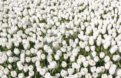 Постер Тюльпаны Клумба с сотнями белых тюльпановТюльпаны<br>Постер на холсте или бумаге. Любого нужного вам размера. В раме или без. Подвес в комплекте. Трехслойная надежная упаковка. Доставим в любую точку России. Вам осталось только повесить картину на стену!<br>