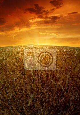 Постер Пейзаж равнинный Закат над пшеничными полямиПейзаж равнинный<br>Постер на холсте или бумаге. Любого нужного вам размера. В раме или без. Подвес в комплекте. Трехслойная надежная упаковка. Доставим в любую точку России. Вам осталось только повесить картину на стену!<br>