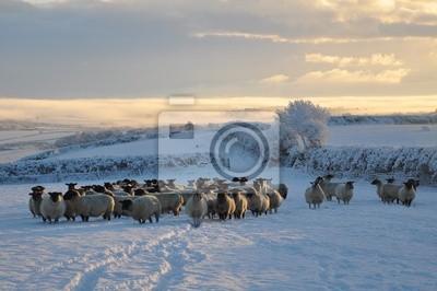 Зимой овец, 30x20 см, на бумагеОвцы<br>Постер на холсте или бумаге. Любого нужного вам размера. В раме или без. Подвес в комплекте. Трехслойная надежная упаковка. Доставим в любую точку России. Вам осталось только повесить картину на стену!<br>