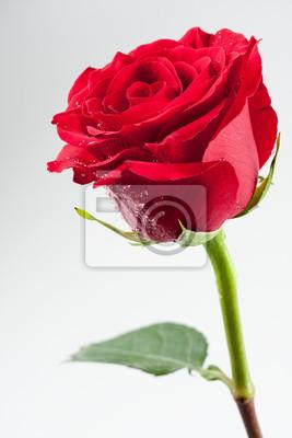 Постер Розы Красивая красная Роза с каплями воды на лепесткахРозы<br>Постер на холсте или бумаге. Любого нужного вам размера. В раме или без. Подвес в комплекте. Трехслойная надежная упаковка. Доставим в любую точку России. Вам осталось только повесить картину на стену!<br>