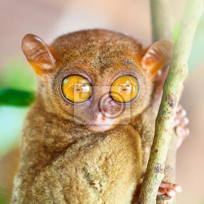 Постер Животные Филиппины tarsier, 20x20 см, на бумагеОбезьяны<br>Постер на холсте или бумаге. Любого нужного вам размера. В раме или без. Подвес в комплекте. Трехслойная надежная упаковка. Доставим в любую точку России. Вам осталось только повесить картину на стену!<br>
