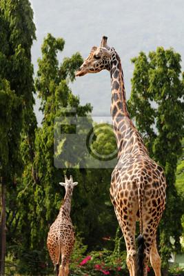 Постер Жирафы Два Африканского происхождения жираф стоял в шкафу в Майсуре zoЖирафы<br>Постер на холсте или бумаге. Любого нужного вам размера. В раме или без. Подвес в комплекте. Трехслойная надежная упаковка. Доставим в любую точку России. Вам осталось только повесить картину на стену!<br>
