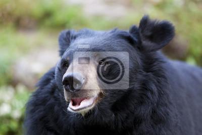 Гималайский Черный Медведь, Гималайский Зоологический Парк, Дарджилинг,, 30x20 см, на бумагеМедведи<br>Постер на холсте или бумаге. Любого нужного вам размера. В раме или без. Подвес в комплекте. Трехслойная надежная упаковка. Доставим в любую точку России. Вам осталось только повесить картину на стену!<br>